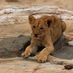 lion cub by Clyde Elgar